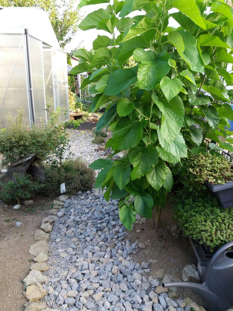 Maulbeerbaum, darunter eine Callesia repens