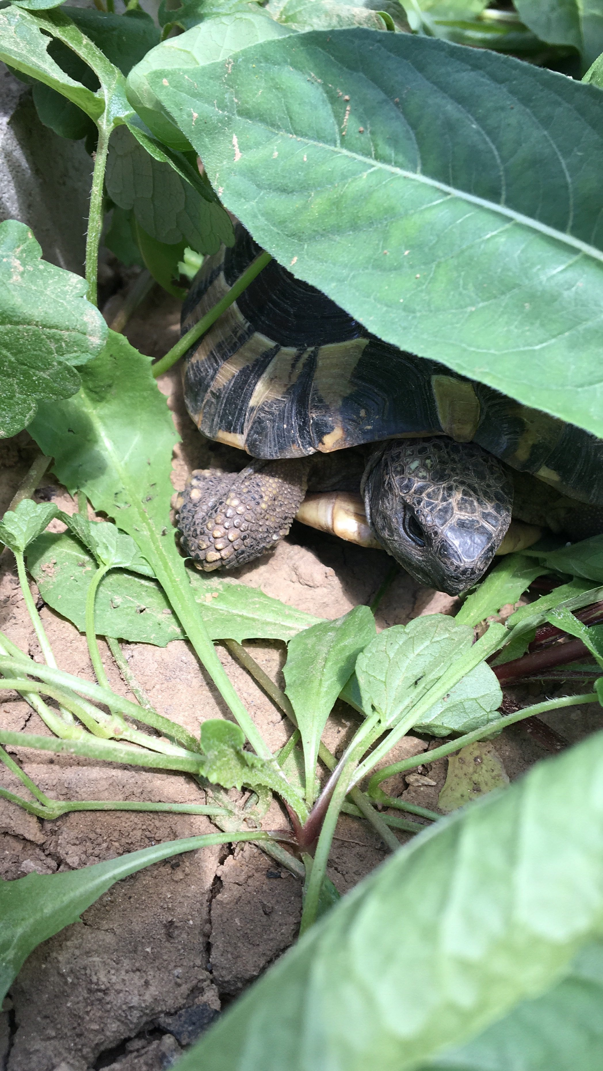 Die Griechischen Landschildkröten verstecken sich sehr gerne