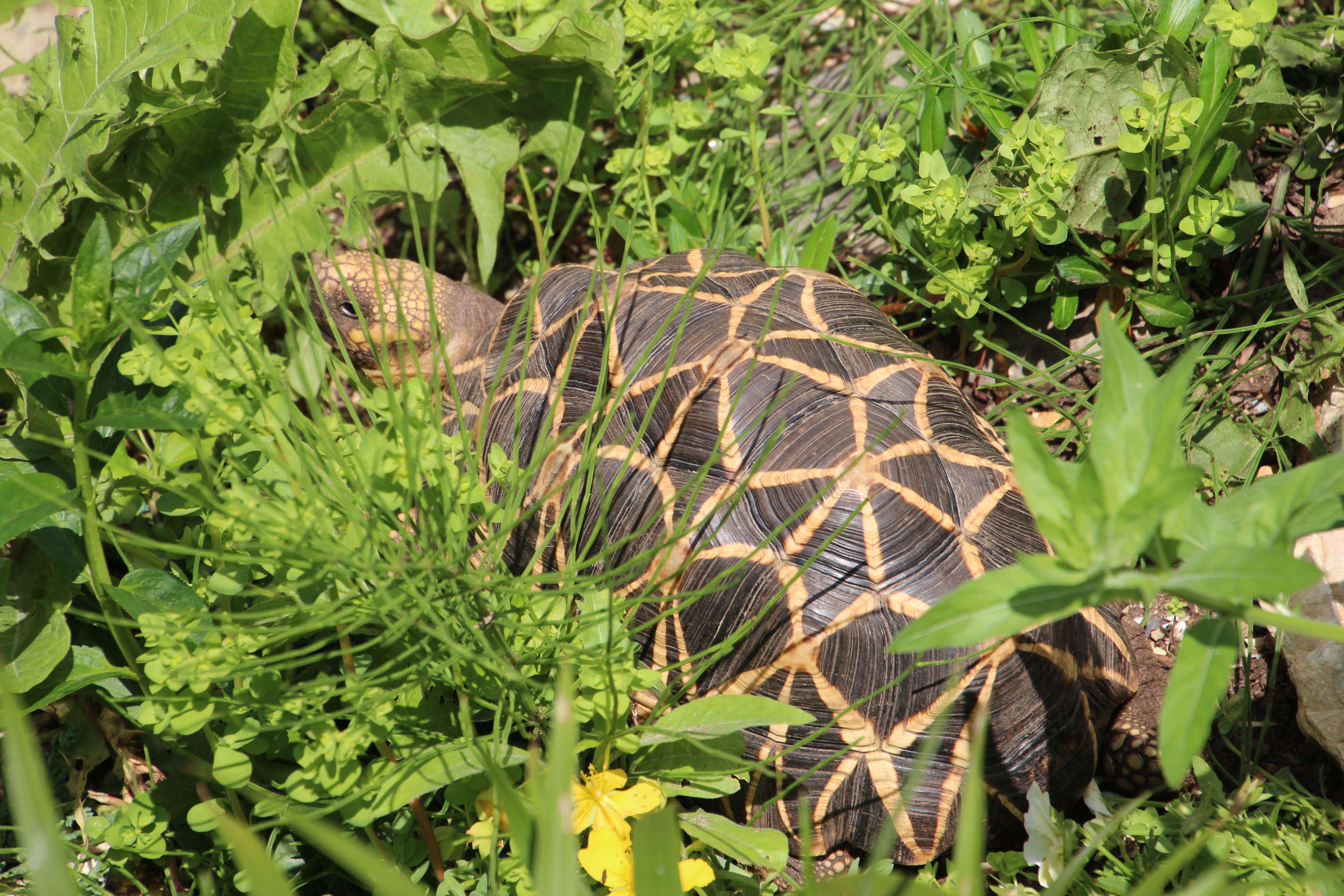 Freilandgehege Burma Sternschildkröte