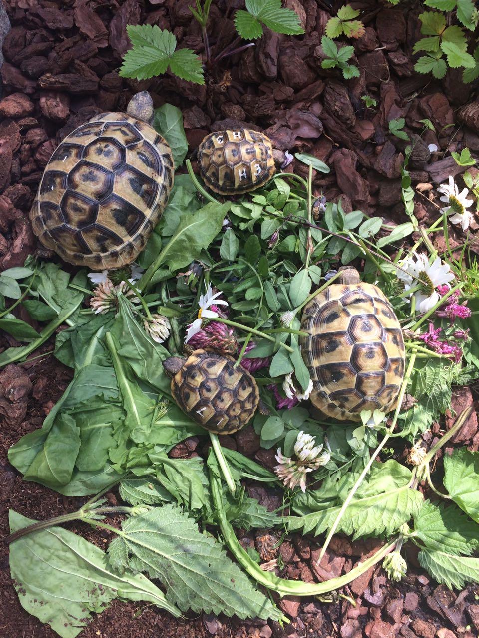 Dalmatische Landschildkröte